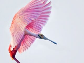"""High Key Spoonbill"" by Michael Pancier Photography"